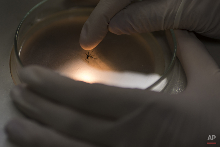 A researcher of the Fiocruz institute places an Aedes aegypti mosquito on a petri dish before analyzing it through the microscope at the Fiocruz institute in Recife, Pernambuco state, Brazil, Wednesday, Jan. 27, 2016. The mosquito is a vector for the proliferation of the Zika virus currently spreading throughout Latin America. New figures from Brazil's Health Ministry show that the Zika virus outbreak has not caused as many confirmed cases of a rare brain defect as first feared. (AP Photo/Felipe Dana)
