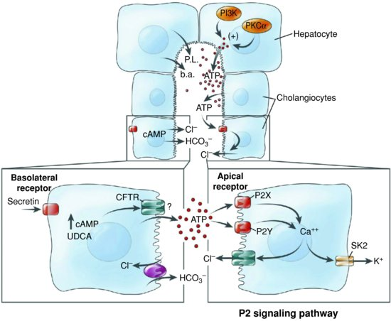 Figure-11-The-role-of-extracellular-adenosine-triphosphate-ATP-in-bile-formation